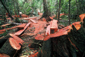 Illegal logging in the lowland rainforest. Loggers with illegally cut, highly quoted cedro tree (Cedrela odorata). Lowland rainforest along the Rio Las Piedras, near the Alto Purus Reserved Zone, department Madre de Dios, Peru.
